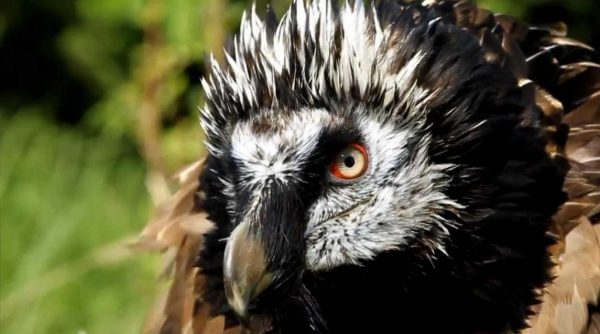 scary birds bearded vulture