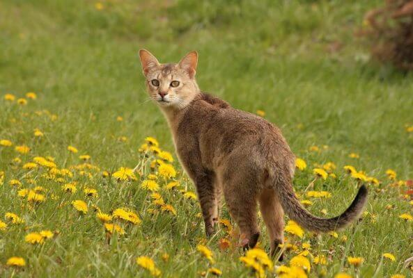 Chausie in flower field catconcerns.com