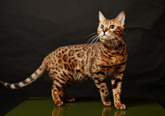 bengal cats animalia-life.club