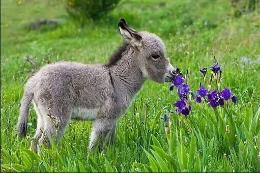 spotted mini donkey
