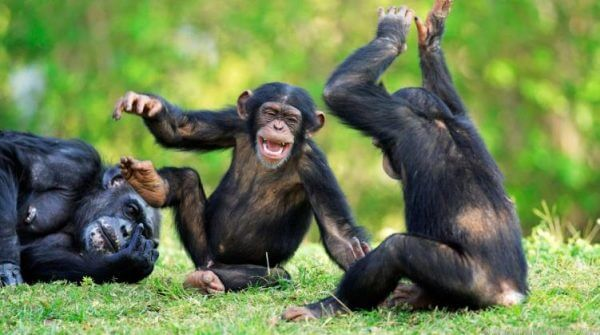 happy chimpanze