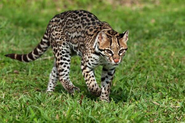 ocelot in grass