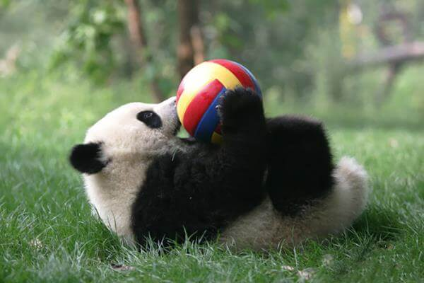 panda playing ball