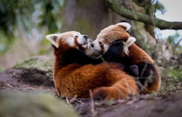 red pandas cub playing in jungle