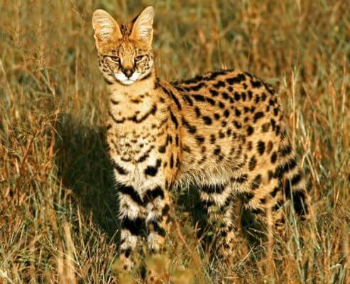 serval in wild life