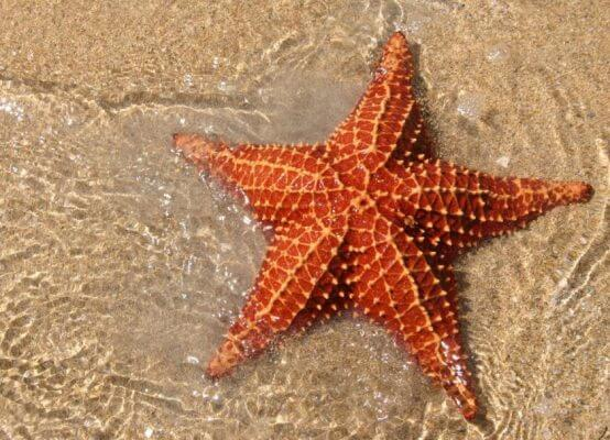 star fish is animal without tail