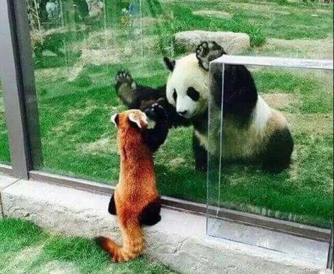 what do giant pandas eat