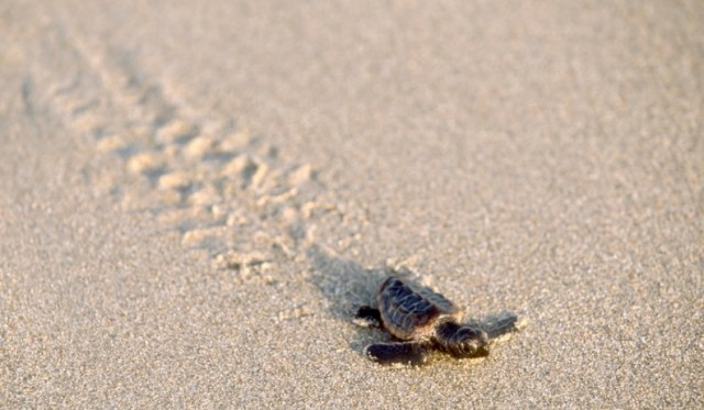 baby sea turtle walking to sea