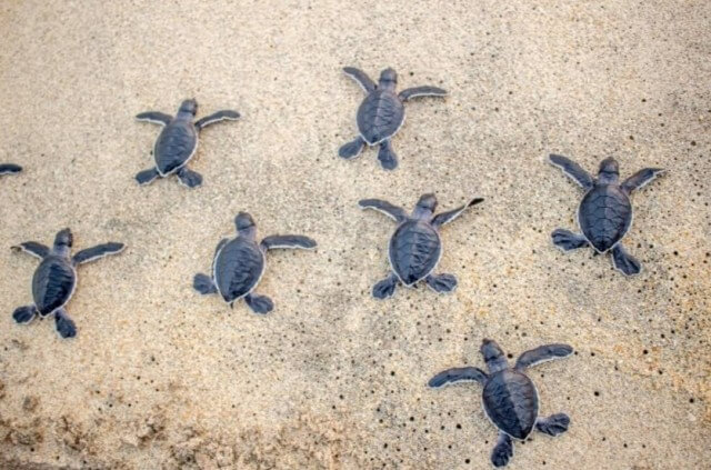 group of baby sea turtles