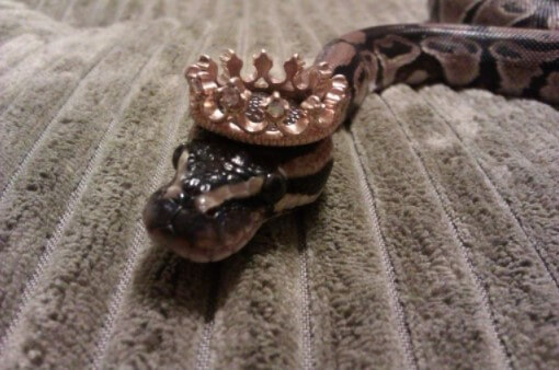 snake with crown