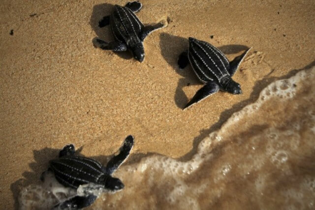 three baby sea turtles going to sea