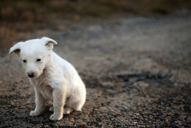 white puppy got sick